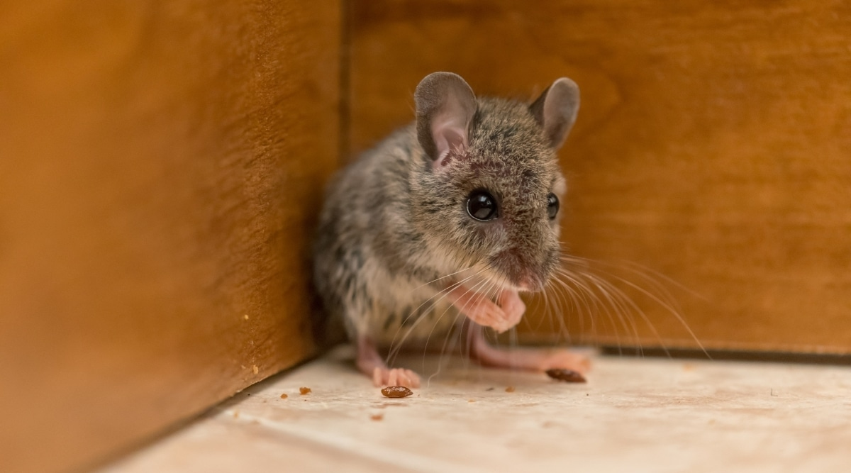 Small Mouse in Home