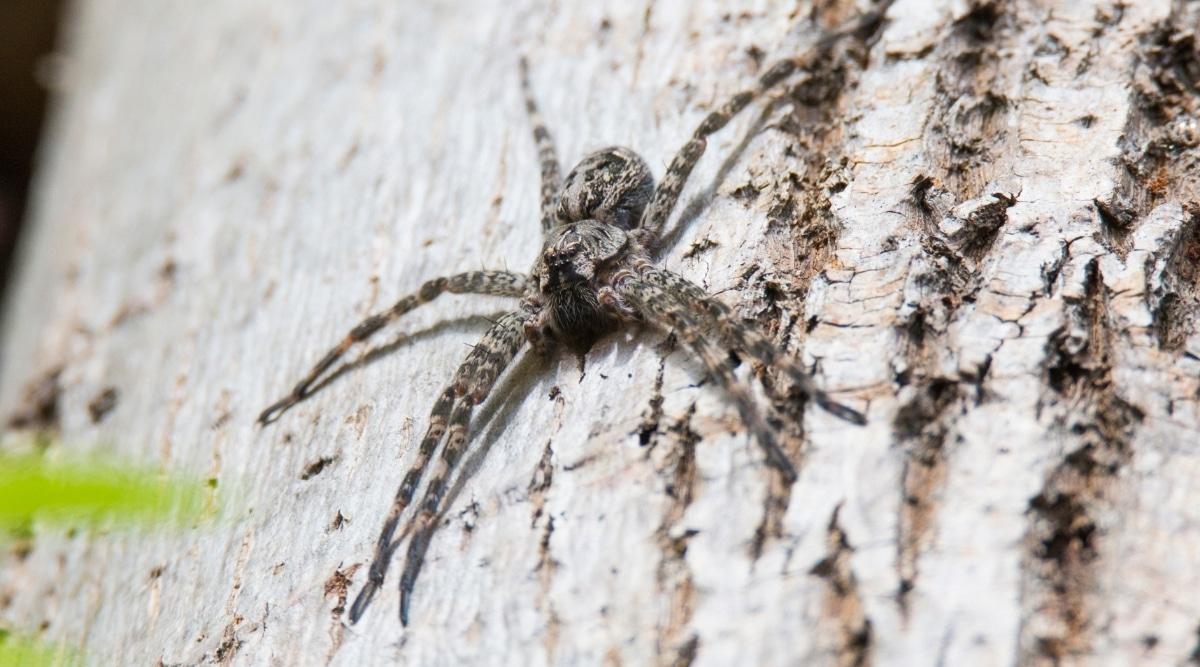 Wolf Spider on Tree