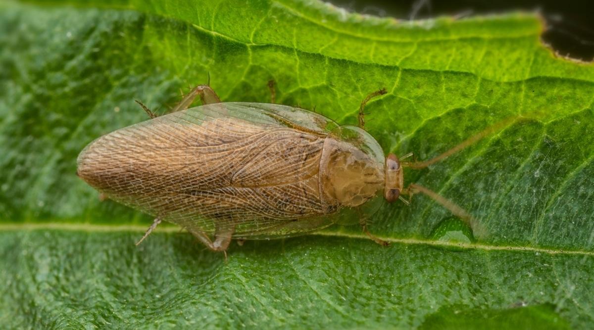 Wood Cockroach in Garden